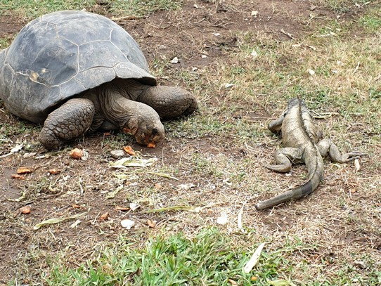 Ecuador - Guayaquil - University Giant Tortoises - moved quite quickly when she saw an iguana eating her food