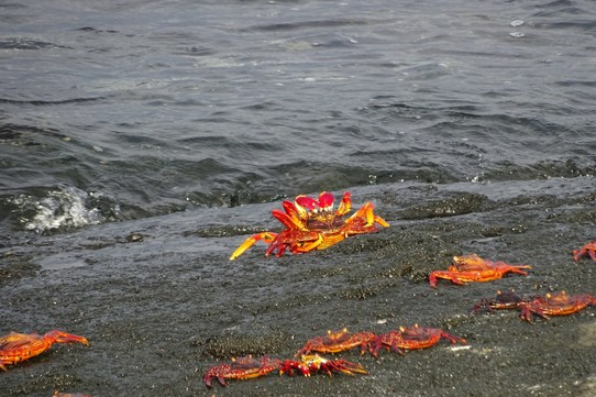 Ecuador - Fernandina Island - Sally Lightfoot crabs