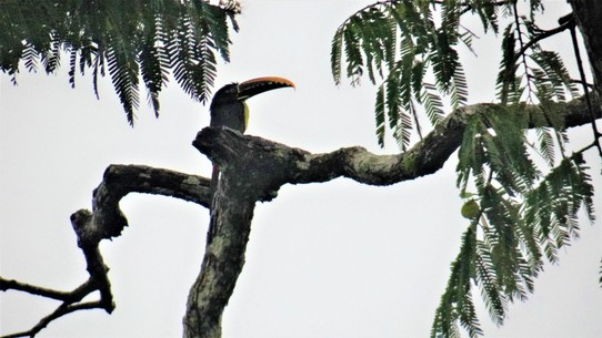 Ecuador - unbekannt - Aracari (a kind of Toucan)