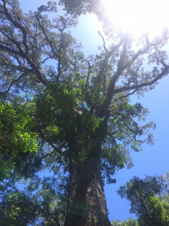Südafrika - Knysna - Big Tree
