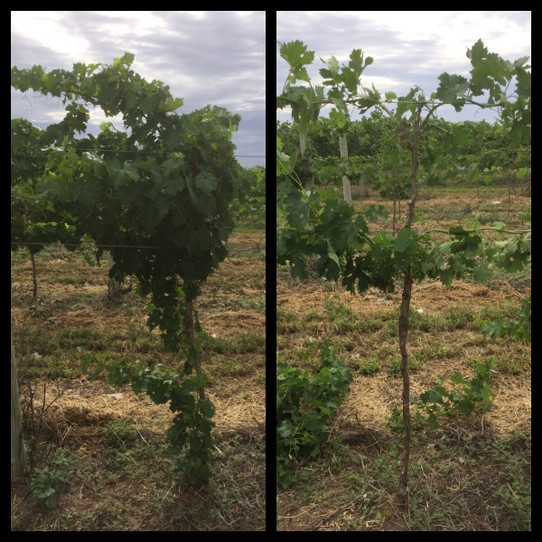 Australia - Wentworth - Before and after pic of a vine.