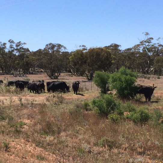Australia - Wentworth - Steers gone walkabout. They miss their mums.