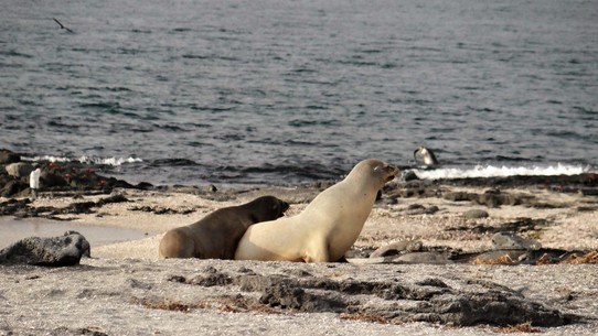 Ecuador - Fernandina Island - Sea lion mum and older pup